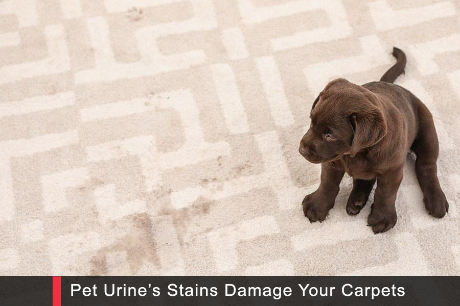 Pet Urine Carpet Stain